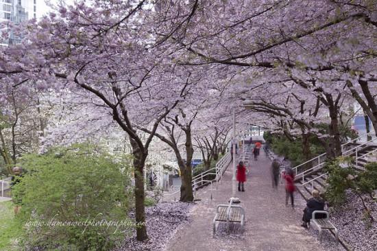 cherry blossom festival vancouver 2016