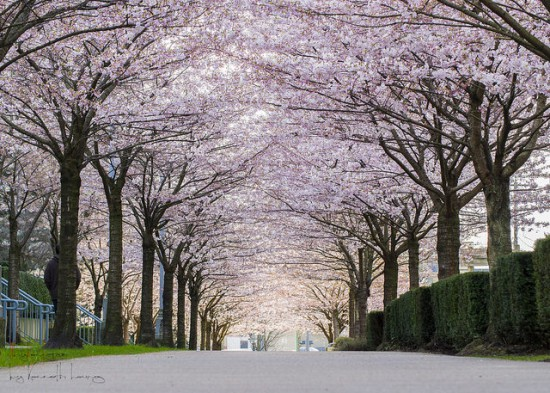cherry blossom locations vancouver