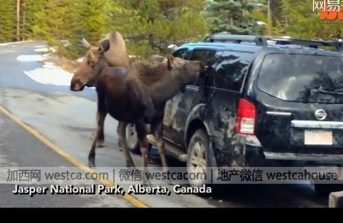 加拿大驼鹿母子拦路洗车 只是.. - 妮子 - 妮